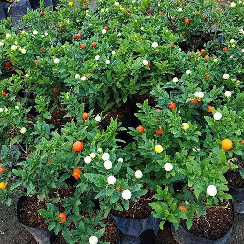 Tanaman Bibit Tomat Krismil Berbuah Warna Warni Bogor