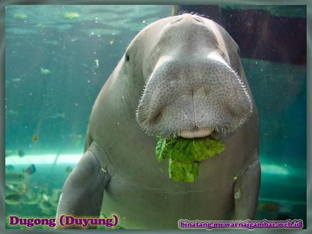 gambar dugong atau lebih dikenal sebagai ikan duyung