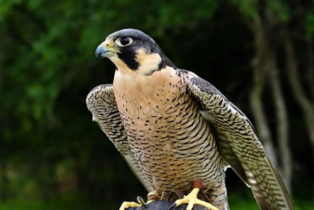 Fakta Menarik Tentang Burung Peregrine Falcons
