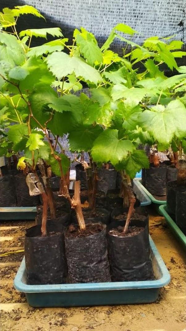 Bibit Buah Anggur Ninel Import Super Unggul Sulawesi Tengah