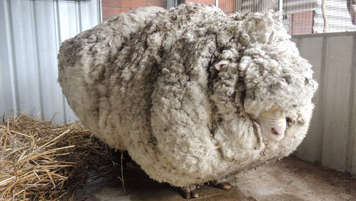 record monde laine