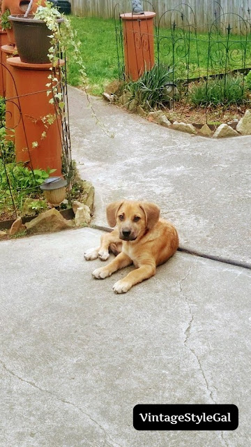 German Shepherd puppy laying outside