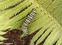 Monarch caterpillar searching for a spot to pupate - © Denise Motard
