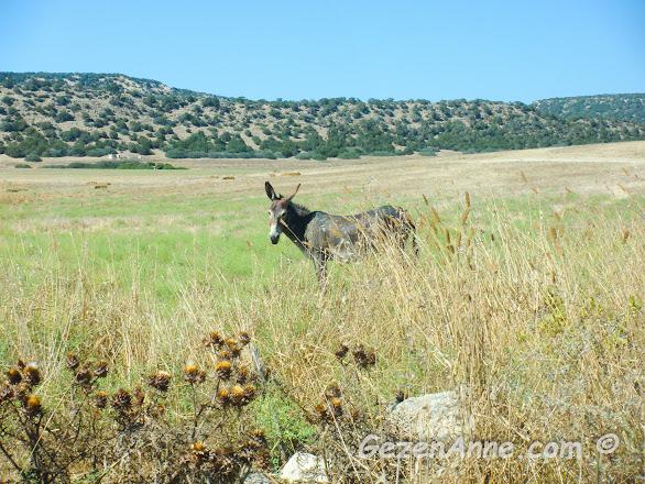 Dipkarpaz Milli Parkı'nda dolaşan yabani eşekler, Kıbrıs