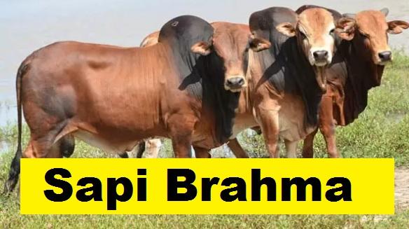 Brahma cow