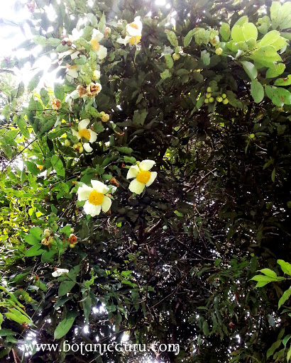 Mesua ferrea, Ceylon Ironwood, Indian Rose Chestnut, Cobra's Saffron, Poached Egg Tree