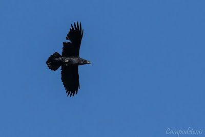 Corb sobrevolant Siurana