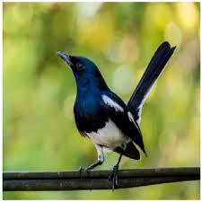 Burung Kacer (Kucica Kampung) Gacor