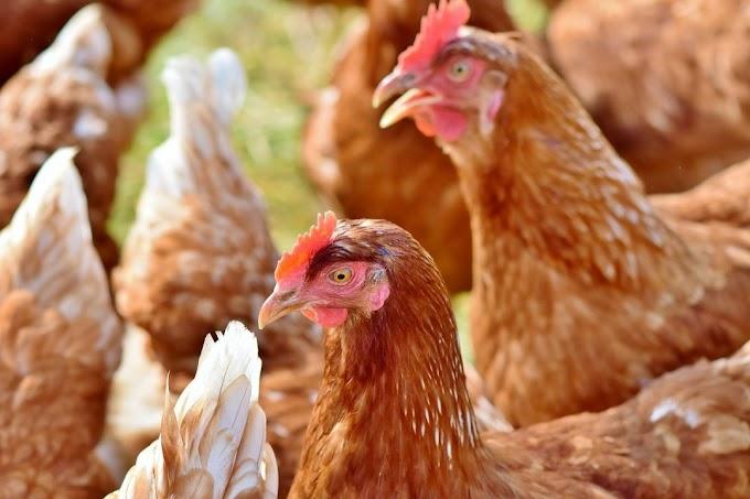 Cara Mengatasi Penyakit dan Kendala Pada Ayam Petelur Lengkap