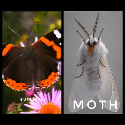 Antenna-difference-of-butterfly-and-moth
