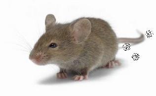 Tips Jitu Cara Mengusir Tikus Dari Rumah