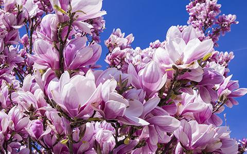 Small trees for tiny yards magnolia randy