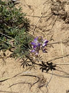 Fabaceae - Lupine littoralis - Seashore lupine