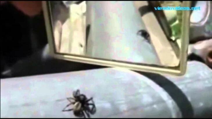 Araña se ve en espejo y su reacción sorprende a todos