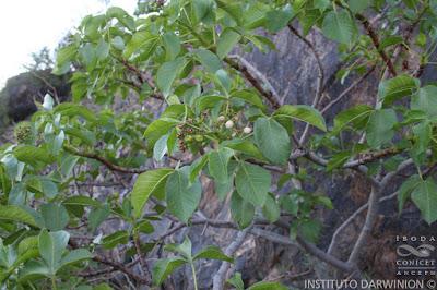 Higuera del zorro (Jatropha excisa)