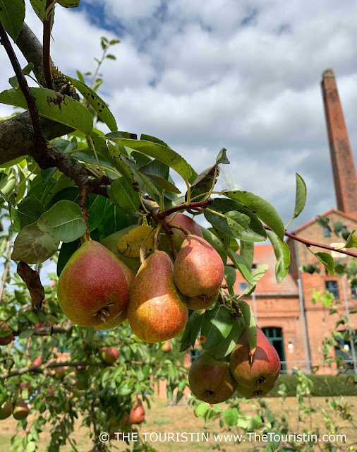 Ripe, juicy red and green pears on a tree with a red brick factory in the background.