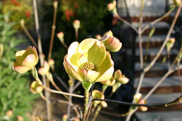Dogwood blossom @handbookofnaturestudy.com