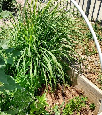 lemongrass clump