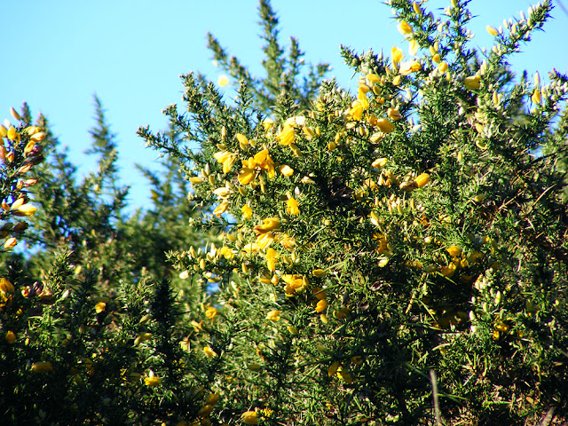 Gorse Ulex europaeus.  Indre et Loire, France. Photographed by Susan Walter. Tour the Loire Valley with a classic car and a private guide.