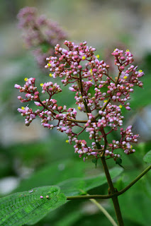pink flowering plant in Puriscal