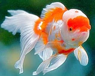 Gambar Ikan Mas Koki Termahal Jenis Oranda