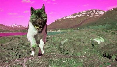 ejercitando al perro akita