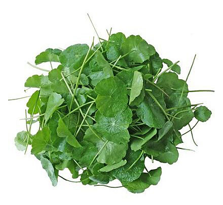 Gotu kola is a plant that likes moist habitats, so it's often found near water and even in the water. The leaves are green and oval, and are also carriers of healing properties of gotu kola.