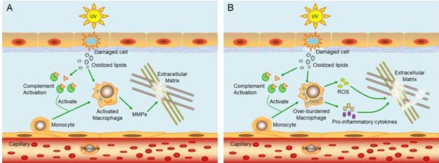 mechanism of inflammaging in skin