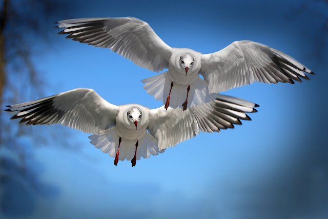 Two White and Black Bird Flying HD Wallpaper