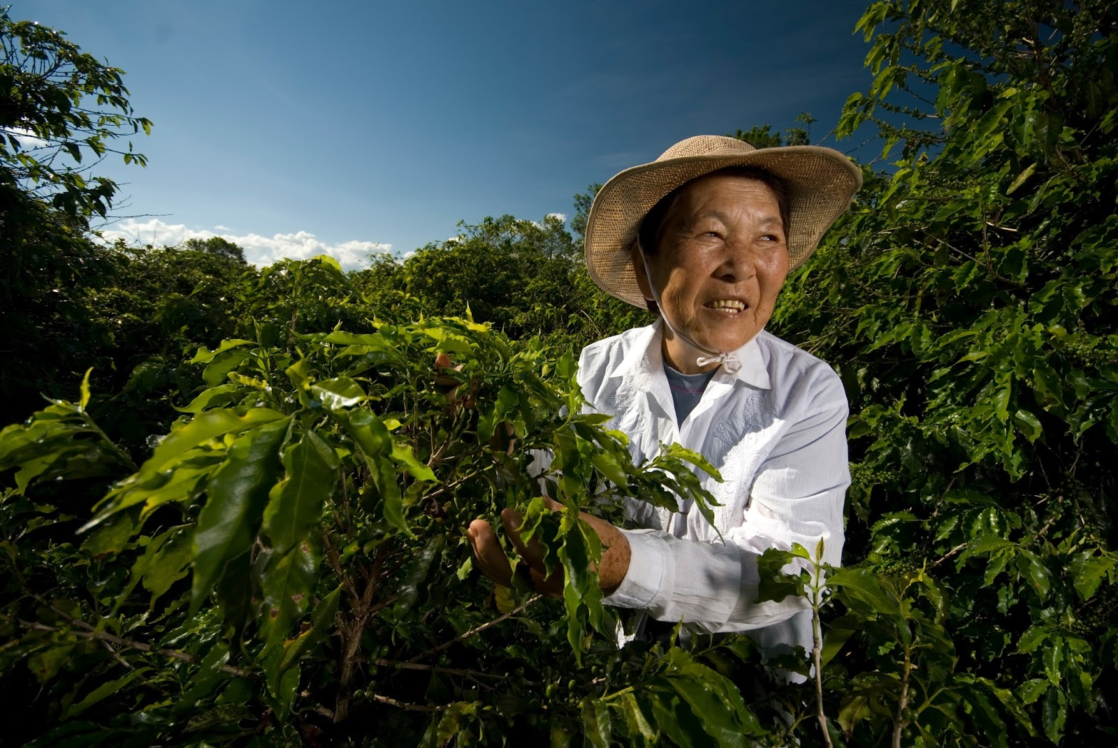 Mulher sorridente, de chapéu de palha, na colheita do café em um dia ensolarado: ilustra a seção a respeito dos textos das linhas de ''Wu Wang / Inocência (O Inesperado)'', um dos 64 hexagramas do I Ching, o Livro das Mutações