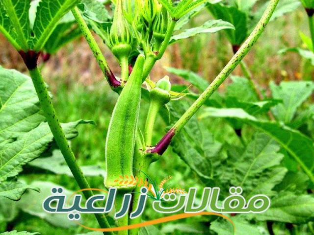 كيفية زراعة البامية - مقالات زراعية