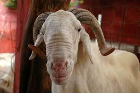 Guinée : Kindia, flambé de prix des bétails au marché à la veille de la fête Aïd El Kebir, appelée fête de Tabaski 1