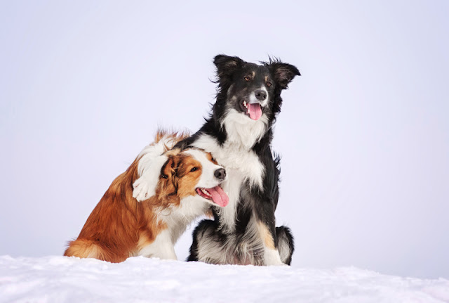 Two border collies doing a trick in the snow