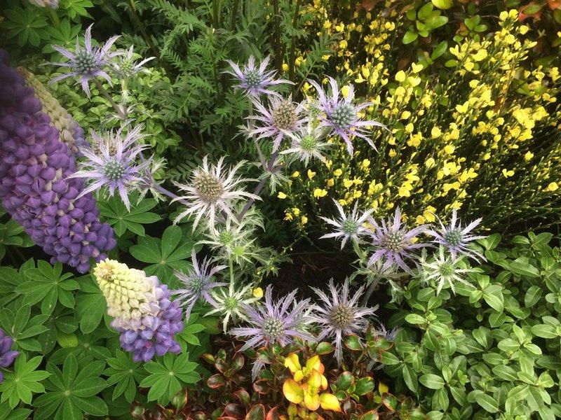 cardo flores azules