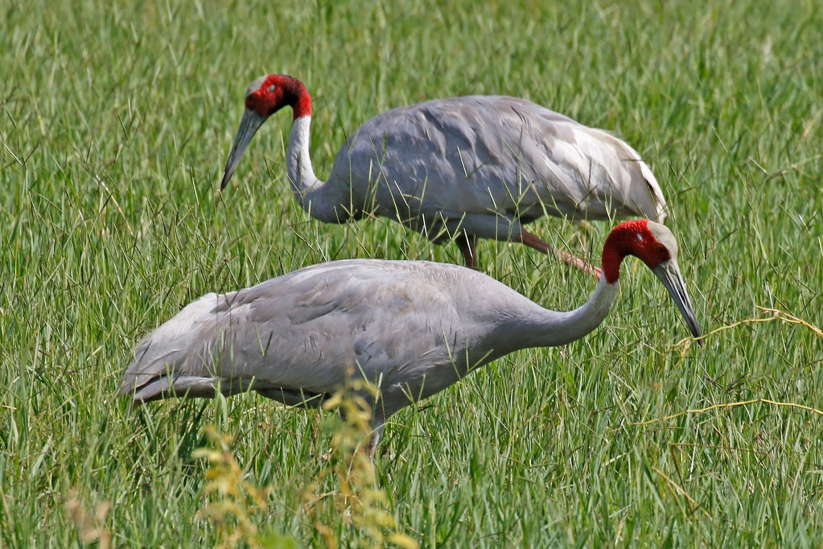 Away from four marks 23rd october keoladeo national park the main breeding season is during the rainy season when the pair builds an enormous nest island a circular platform of reeds and grasses nearly two buycottarizona Choice Image