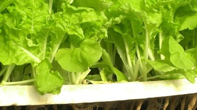 tanaman hidroponik selada hijau