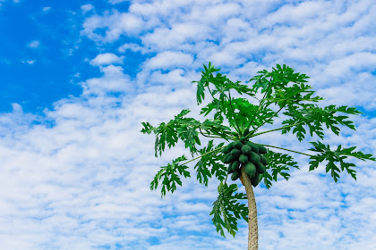 The Content and Benefits of Papaya Fruit for The Health of the Human Body