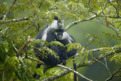 5 days Rwanda luxury gorilla and chimps tracking tout, rwanda gorillas chimps, gorillas primate tour rwanda, rwanda gorillas nyungwe tour, chimps gorillas rwanda, volcanoes, nyungwe, Gisakura, rwanda chimpanzee, rwanda gorilla, 5 days gorilla tour rwanda, luxury safari rwanda,primates tour rwanda cheap Gorilla trek Rwanda,mid-price Rwanda gorilla tour, gorilla safari, budget tour rwanda, Rwanda, rwanda tour operator, rwanda tour company, gorilla tour agent, gorilla