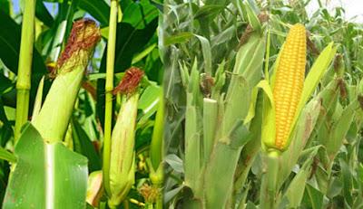 Maize, corn,ভূট্টার গাছ