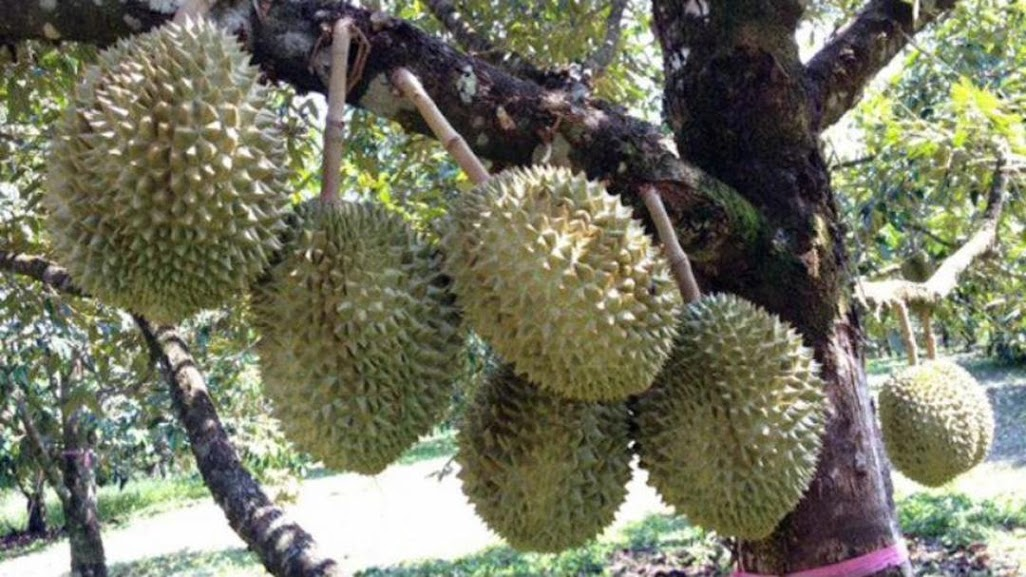 bibit durian musangking hasil okulasi Sulawesi Selatan