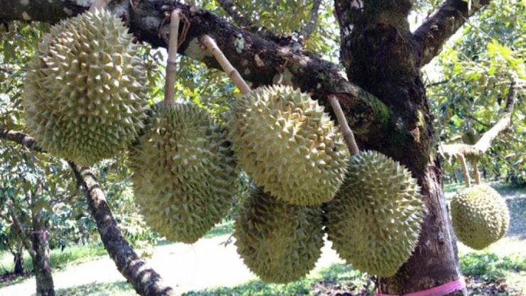bibit durian musangking hasil okulasi Jakarta