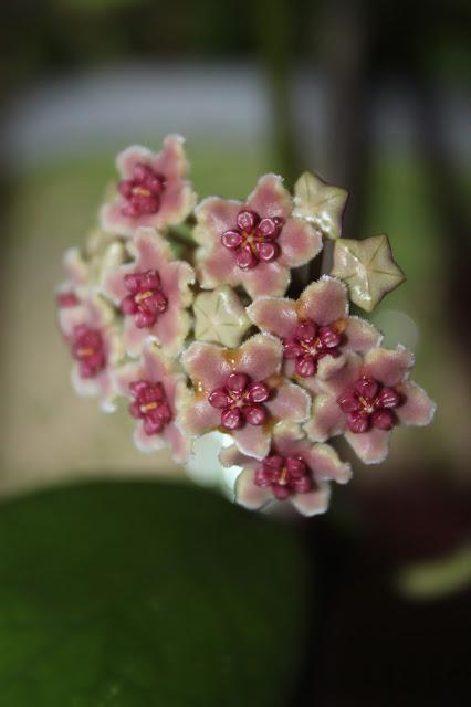 Hoya sp. Borneo