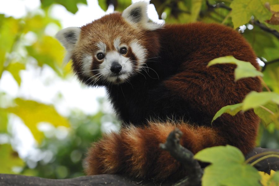 32. Red Panda by Josef Gelernter