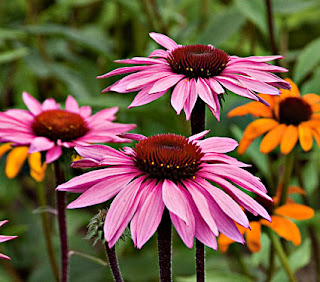 No winter without Echinacea