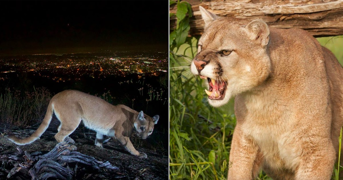 Woman In California Rescues Her 5-Year-Old Son From Mountain Lion Attack