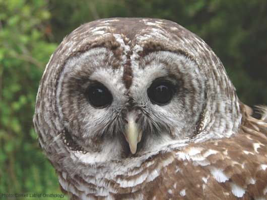 Nature Notes Blog: Getting to Know Barred Owls