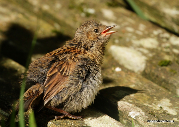 Hedge Sparrow (Dunnock) - Photo copyright Pat Adams North Devon Focus