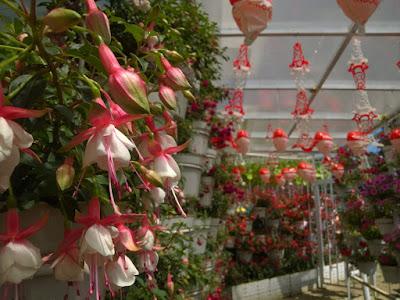 Taman Bunga Celosia Bandungan Semarang