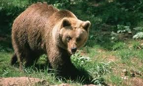 Στυλίδα: Αρκούδα στα ορεινά της Όθρυος