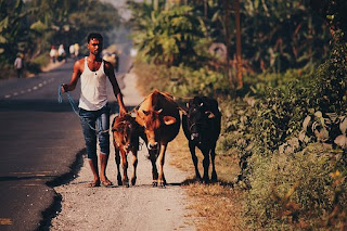 Indian with his cattle